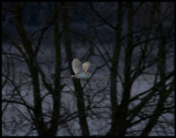 Barnowl hunting in early morning - Cley Next to Sea England