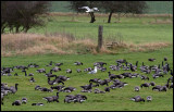 Brent Geese (Prutgäss) - Morston England