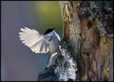 Willow Tit (Talltita - Parus montanus) - Kårestad
