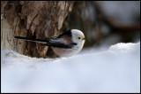 Long-tailed Tit (Stjärtmes -Aegithalos caudatus) - Kårestad