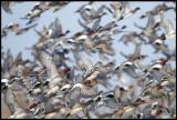 Wigeons (Bläsänder - Anas penelope) near Zierikzee - Holland
