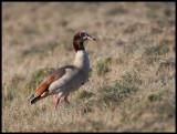Egyptian Goose (Nilgås - Alopochen aegyptiaca) - Holland