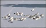 Black-headed Gulls (Skrattmåsar) - Holland