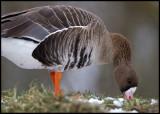 Greater White-fronted Goose (Bläsgås - Anser albifrons)  De Biebosch - Holland