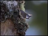 Crested Tit (Tofsmes - Parus cristatus) - Kårestad
