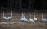 Whooper Swans (Sångsvanar) - Södra Udde