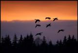 Bean Geese at dusk (Sädgäss) - Södra Udde