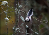 Not really sharp, but what a beautiful tail!!! - Long-tailed Tit (Stjärtmes) - Kårestad