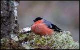 Bullfinch (Domherre) - Kårestad