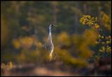 A Crane walking around at the bog in beautiful morning light