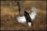 Black Grouse (Orre) arriving to the lekking place at the bog
