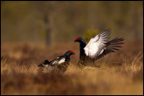 Black Grouse early spring fight