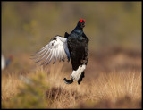 Black Grouse jumping as a part of the lek
