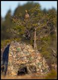 A female Black Grouse sitting above Henrik Karlssons hide
