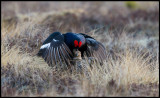 So I finally got it....... Mating Black Grouse at the lekking place