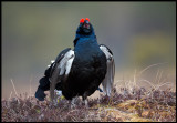 A beautiful mail Black Grouse
