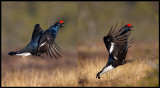 A male Grouse is jumping to impress some females (2 photos)