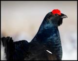 Black Grouse male