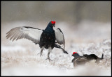 Bitterly cold and snowstorm during Easter but the Black Grouse does not care