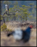 The female Goshawk just had a Black Grouse for breakfast - and the others are still lekking...