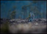 A female Goshawk is killing a male Black Grouse 25 minutes before sunrise