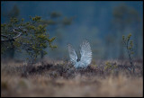 The Goshawk has captured the Black Grouse and is holding it tight with the claws