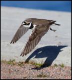 Little Ringed plover (Mindre strandpipare) Sundsvall