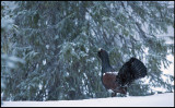 Winter or spring? A Capercaillie is lekking in late spring snowfall