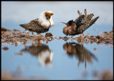 Two migrating Ruffs are lekking in Limingalahti - Finland