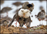 A Ruff male trying to mate with another male!!!