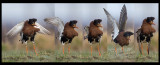 Male Ruff dancing at lekking place (5 pictures collage)