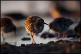 Female Ruffs at dusk