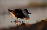 A male Ruff in lekking plumage at dusk
