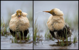 Shout it out or spit it out?? A male Ruff drinking water