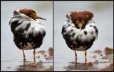 Royal plumage - perhaps the most beautiful Ruff in Liminka 2012