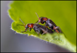 Soldier Beetles mating (Flugbaggar)
