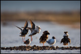 Migrating Ruffs gathering on a temporary lekking place