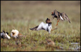 Dancing fight on Ruff lekking place in northern Finland