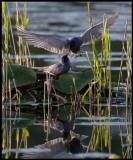 Black Terns (Svarttärnor) mating gift - Kristianstad Vattenrike
