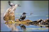 Black Tern (Svarttärna) and dragonfly - Kristianstad Vattenrike