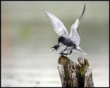 Black Terns (Svarttärnor) mating - Kristianstad Vattenrike