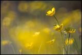 Buttercups (Smörblommor) - Öland