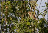 Gräshoppsångare (Grasshopper Warbler) Hammarsjön