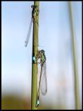 Större kustflickslända (Ischnura elegans) - Blekinge