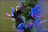 Bumblebee on Viper`s Bugloss (Humla på blåeld)