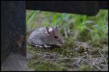 A House Mouse (Husmus - Mus musculus) hiding behind our garden tools