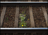 Dandelion always survive - Railway in Hallsberg