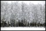 Birch trees in Scania