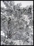 Frozen pine in Dalarna