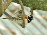 800sparrowAP1054937.jpg